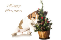 Cute Jack Russell Terrier with Christmas tree Royalty Free Stock Image
