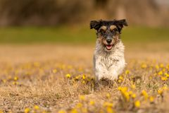 Cute jack Russell Terrier dog in blooming field in spring royalty free stock images