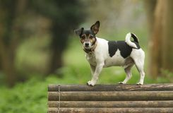 A cute Jack Russell Terrier Dog Canis lupus familiaris standing on top of a wooden training structure. A cute male Jack Russell Terrier Dog Canis lupus stock photo