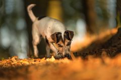 Cute Jack Russell Terrier dog in the colored autumn stock photography
