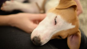 A cute Jack Russell terrier dog in his owner lap stock footage