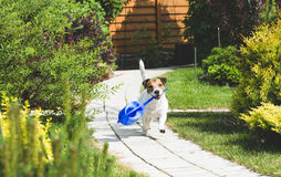 Cute Jack Russell  terrier dog playing with a watering can at garden. Funny dog running by path at garden Stock Photography