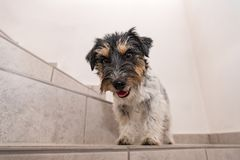 Little Jack Russell Terrier dog sits on a stairs and looks forwards stock images