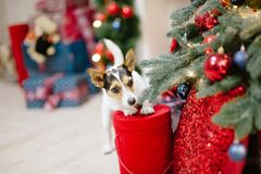 Cute jack russell terrier dog standing on gift box in christmas royalty free stock photography