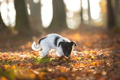 Cute Jack Russell Terrier doggy in looking forwards änd standing in an autumn leaves. Small puppy in the autumn forest - 13 weeks old - Cute Jack Russell stock photography
