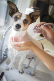 Cute Jack Russell Terrier Getting a Bath in the Sink Royalty Free Stock Images