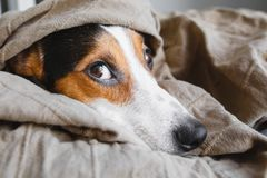 Cute Jack Russell Terrier on his place. Cute Jack Russell Terrier sleepy resting on his place royalty free stock images