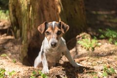 Cute Jack Russell Terrier hunting dog is looing out of a cave stock photography