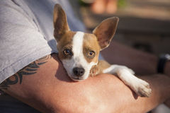 Cute Jack Russell Terrier Look On As Master Holds Her Stock Photo