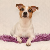 Cute jack russell terrier lying on purple blanket Stock Photos