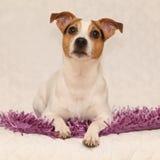 Cute jack russell terrier lying on purple blanket Stock Photos