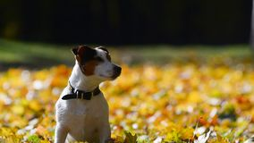 Cute jack Russell terrier in the park stock video footage