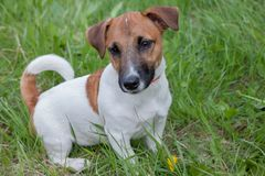 Cute jack russell terrier puppy close up. Pet animals. royalty free stock photography