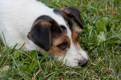 Cute jack russell terrier puppy close up. Pet animals. stock photos