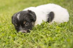 Cute jack russell terrier puppy dog - 4,5 weeks old stock photos