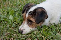 Cute jack russell terrier puppy with hazel eyes close up. Pet animals. Purebred dog stock images
