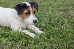 Cute jack russell terrier puppy with hazel eyes is lying on a green meadow. Pet animals. Purebred dog stock photography