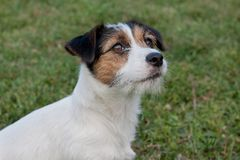 Cute jack russell terrier puppy with hazel eyes. Pet animals. stock photos
