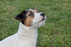 Cute jack russell terrier puppy with hazel eyes. Pet animals. Purebred dog stock photo