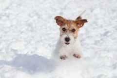 Cute jack russell terrier puppy is jumping on a white snow. Pet animals stock images
