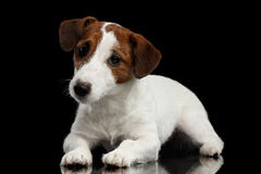 Cute Jack Russell Terrier Puppy Lies on Mirror, Looking Camera Stock Photos