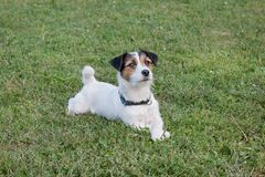 Cute jack russell terrier puppy is lying on a green meadow. Pet animals. Purebred dog royalty free stock photos