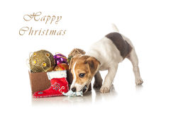 Cute Jack Russell Terrier puppy playing with Christmas decorations Royalty Free Stock Images