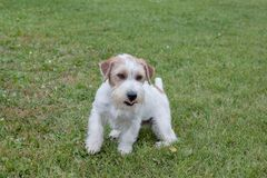 Cute jack russell terrier puppy is playing on a green meadow. Pet animals. Purebred dog stock photography