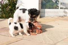 Jack Russell Terrier puppy is playing with his mother. Dog 7,5 weeks old royalty free stock photography