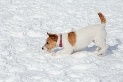 Cute jack russell terrier puppy is playing and jumping on white snow. Pet animals royalty free stock photo