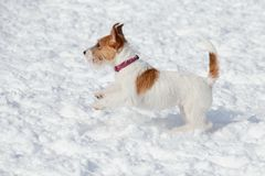 Cute jack russell terrier puppy is playing on a white snow. Pet animals stock photos