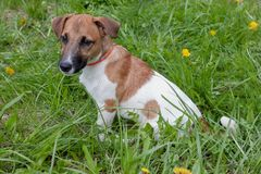 Cute jack russell terrier puppy is sitting in a green grass. royalty free stock photography