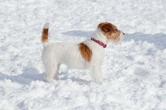 Cute jack russell terrier puppy is standing on a white snow. Pet animals stock photos