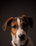Cute Jack Russell Terrier puppy Stock Image