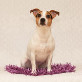 Cute jack russell terrier on purple blanket Royalty Free Stock Images