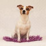 Cute jack russell terrier on purple blanket Royalty Free Stock Images