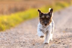 Cute Jack Russell Terrier is running on a path stock photography