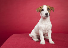 Cute jack russell terrier sitting royalty free stock image
