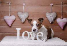 Cute Jack Russell Terrier. Valentine`s day. Royalty Free Stock Photo