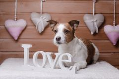 Cute Jack Russell Terrier. Valentine`s day. A dog and a romance stock photography