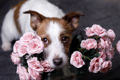 Cute Jack Russell Terrier. Valentine`s day. Royalty Free Stock Images