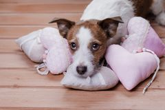 Cute Jack Russell Terrier. Valentine`s day. A dog and a romance royalty free stock photography