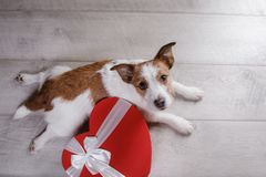 Cute Jack Russell Terrier. Valentine`s day. Stock Images