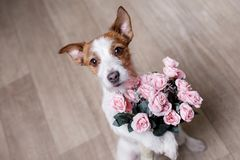 Cute Jack Russell Terrier. Valentine`s day. Stock Photos