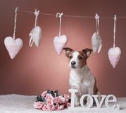 Cute Jack Russell Terrier. Valentine`s day. Stock Photography