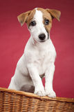 Cute jack russell terrier in wicker basket Royalty Free Stock Photo