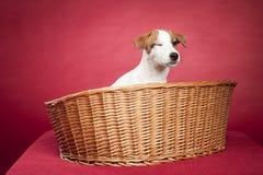 Cute jack russell terrier in wicker basket Royalty Free Stock Images