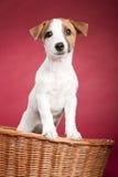 Cute jack russell terrier in wicker basket stock photo