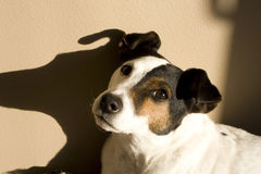 Cute Jack Russell Terrior Dog Puppy Stock Photography