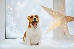 Cute Jack Russell is yawning. royalty free stock photography